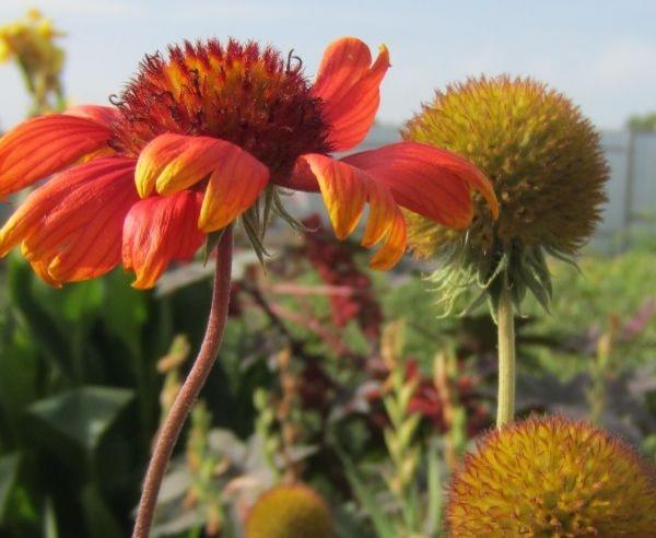 """Daftar tanaman dari kelompok """"bunga kering"""" tidak terbatas pada tanggal 20 kami. Semua sereal dekoratif (millet, fry barley, miscanthus, polygone, ..."""